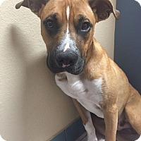 Adopt A Pet :: Hudson - Austin, TX