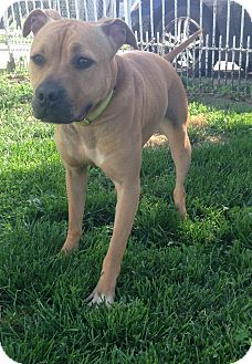Pit Bull Terrier Dog for adoption in Otterbein, Indiana - Paisley