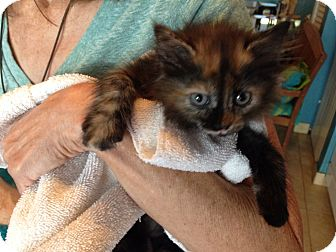 Domestic Mediumhair Kitten for adoption in Deerfield Beach, Florida - Darshana