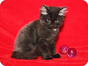 Domestic Mediumhair Kitten for adoption in Marietta, Ohio - Miss Beasley