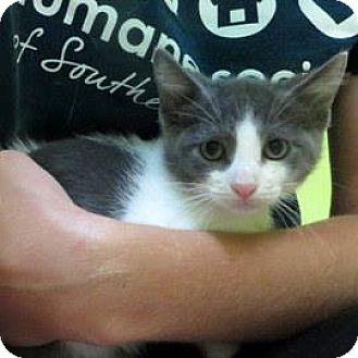 Domestic Shorthair Kitten for adoption in Janesville, Wisconsin - Ross