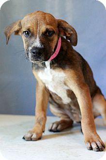 Shepherd (Unknown Type) Mix Puppy for adoption in Waldorf, Maryland - Brady