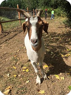 Goat for adoption in Maple Valley, Washington - Clara