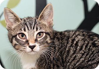 Domestic Shorthair Kitten for adoption in Royal Oak, Michigan - WILLOW