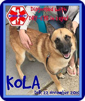 Belgian Malinois/German Shepherd Dog Mix Dog for adoption in White River Junction, Vermont - KOLA