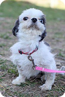 Shih Tzu Mix Puppy for adoption in Waldorf, Maryland - Charles ADOPTION PENDING