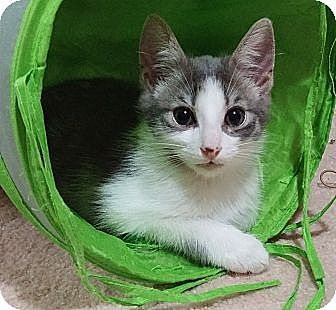 Domestic Shorthair Cat for adoption in Cleveland, Ohio - Kirby