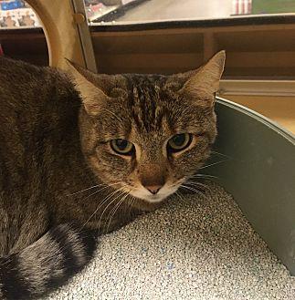 Domestic Shorthair Cat for adoption in Monroe, Georgia - Emma
