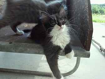 Domestic Longhair Kitten for adoption in Lexington, Kentucky - Mako