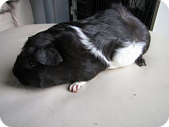 Guinea Pig for adoption in Warren, Michigan - Whiskers