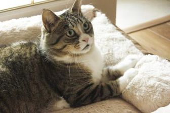 Domestic Shorthair/Domestic Shorthair Mix Cat for adoption in Toronto, Ontario - Tessa