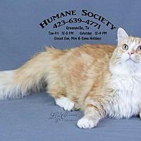 Adopt A Pet :: Marmalade AC-18621 - Greeneville, TN