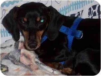 Dachshund Dog for adoption in Fanwood, New Jersey - Winni