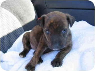 Boxer/Labrador Retriever Mix Puppy for adoption in Northville, Michigan - Star