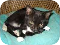 Domestic Shorthair Kitten for adoption in Tampa, Florida - Raider