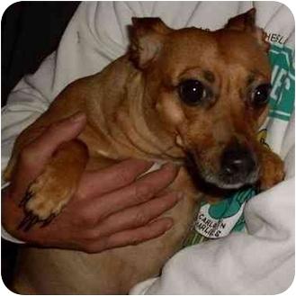 Dachshund/Chihuahua Mix Dog for adoption in Humble, Texas - Estrella