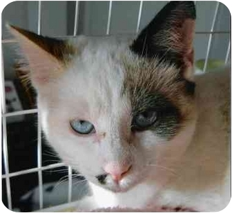 Siamese Cat for adoption in Brea, California - Simone
