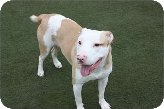 American Staffordshire Terrier/American Pit Bull Terrier Mix Puppy for adoption in Chicago Ridge, Illinois - Opi