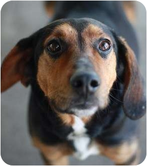 Coonhound Dog for adoption in Edgewater, New Jersey - Hiatt