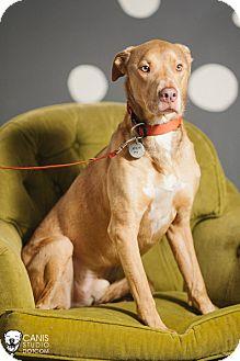 Doberman Pinscher/Weimaraner Mix Dog for adoption in Portland, Oregon - Mowgli