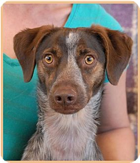 German Shorthaired Pointer Mix Dog for adoption in Las Vegas, Nevada - Gambit