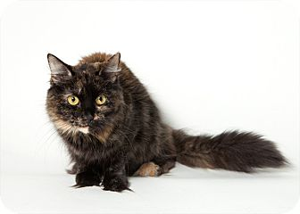Domestic Mediumhair Cat for adoption in Rockaway, New Jersey - Sophie