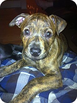 American Pit Bull Terrier/Boxer Mix Puppy for adoption in Yorba Linda, California - URGENT! -Tiger Lilly