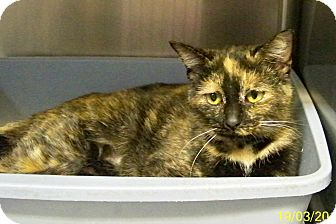 Domestic Shorthair Cat for adoption in Dover, Ohio - Halle