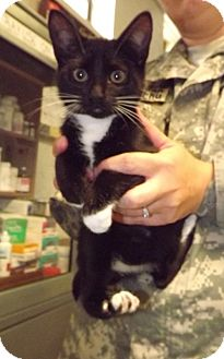 Domestic Shorthair Kitten for adoption in Fort Riley, Kansas - Eros