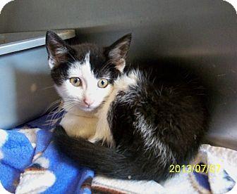 Domestic Shorthair Kitten for adoption in Dover, Ohio - Parker