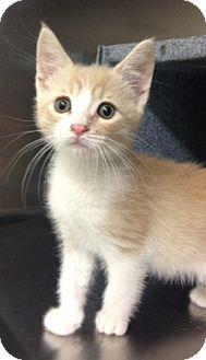 Domestic Shorthair Kitten for adoption in Dublin, California - Tucker