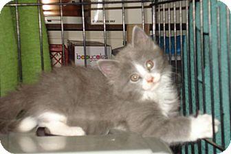 Domestic Mediumhair Kitten for adoption in St. Louis, Missouri - Jamie Lee