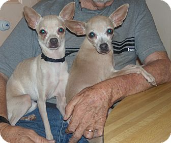 Chihuahua Dog for adoption in Buford, Georgia - Lady from Atlanta