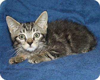 Domestic Shorthair Kitten for adoption in Rochester, New York - Sophia