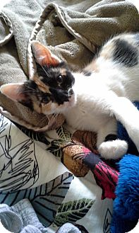 Calico Kitten for adoption in Hamilton, New Jersey - PENNY - 2014