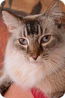 Ragdoll Cat for adoption in Columbus, Ohio - Parker