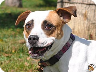 American Staffordshire Terrier Mix Dog for adoption in Eighty Four, Pennsylvania - Peanut
