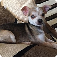 Adopt A Pet :: Tristan - Houston, TX