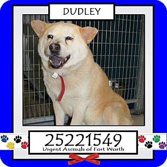 Chow Chow Mix Dog for adoption in Frisco, Texas - Dudley