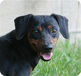 Dachshund Mix Dog for adoption in Lufkin, Texas - Duke