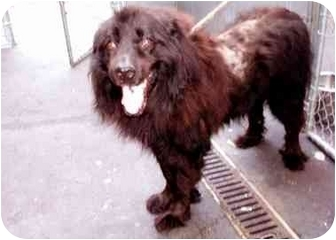 Flat-Coated Retriever/Chow Chow Mix Dog for adoption in New York, New York - Holiday