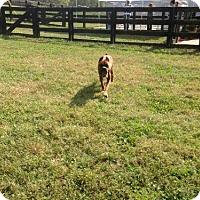 Adopt A Pet :: Belle Starr - Brentwood, TN