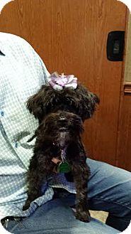 Yorkie, Yorkshire Terrier/Miniature Schnauzer Mix Puppy for adoption in Crystal River, Florida - Rosita