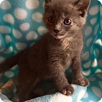 Adopt A Pet :: Judy Hopps Mittens - Union, KY