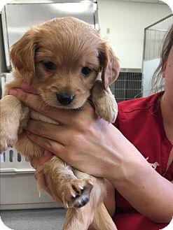 Beagle/Cocker Spaniel Mix Puppy for adoption in Phoenix, Arizona - Kramer