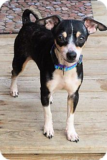Chihuahua Mix Puppy for adoption in Toledo, Ohio - Dobby