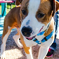 Pit Bull Terrier Mix Dog for adoption in Odessa, Texas - Sampson