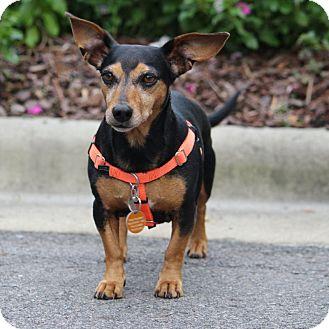 Dachshund Mix Dog for adoption in Pinehurst, North Carolina - Daisy