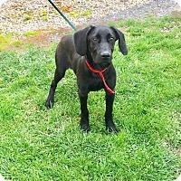 Adopt A Pet :: CALEB - Cadiz, OH