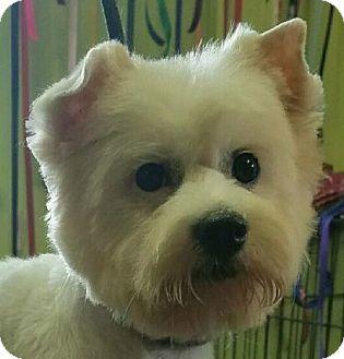 American Eskimo Dog/Poodle (Miniature) Mix Puppy for adoption in Cedartown, Georgia - Cookie